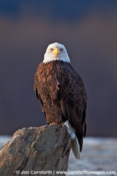 Chilkat Bald Eagle 214