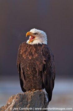 Chilkat Bald Eagle 216