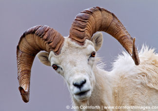 Denali Dall Sheep 1