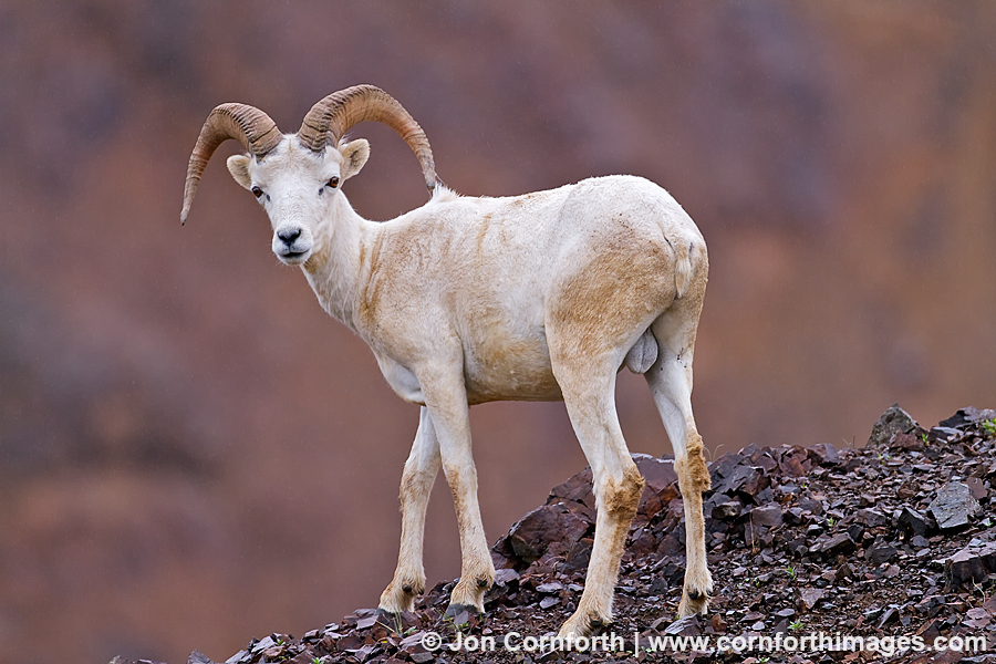 Denali Dall Sheep 3