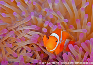False Clown Anemonefish 25