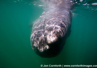 Gray Whale 5