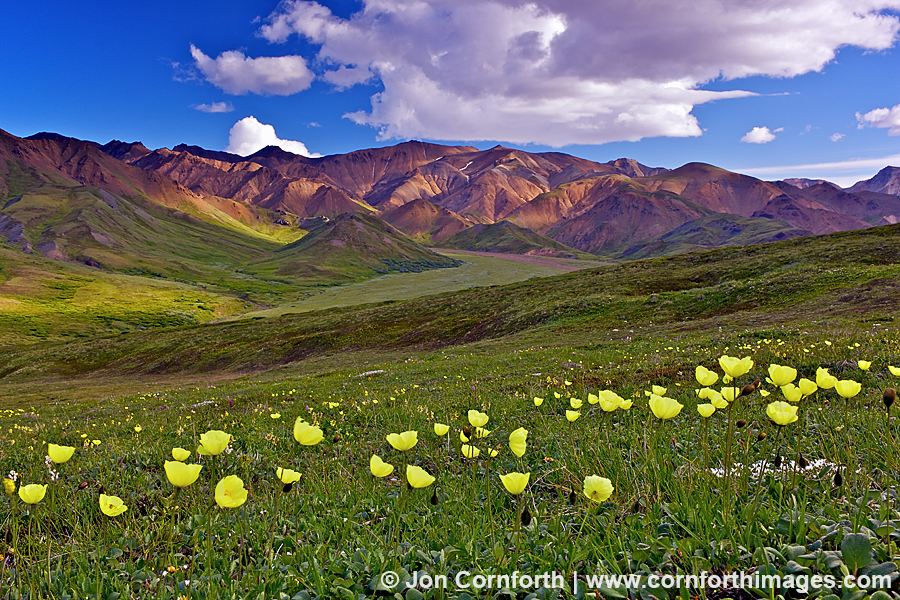 Highway Pass Arctic Poppies 1
