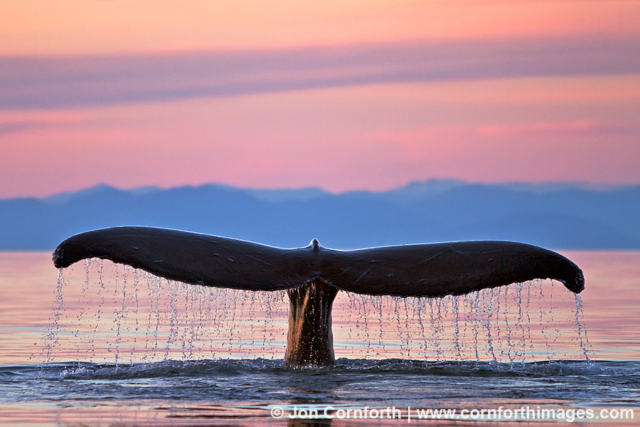 Humpback Whale Tail 116