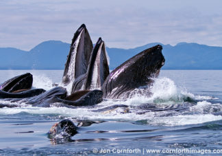 Humpback Whales Bubble Feeding 132