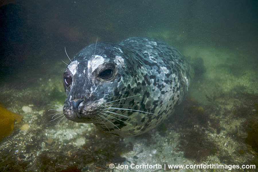 Nanaimo Harbor Seal 1