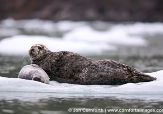 Tracy Arm Harbor Seal 9