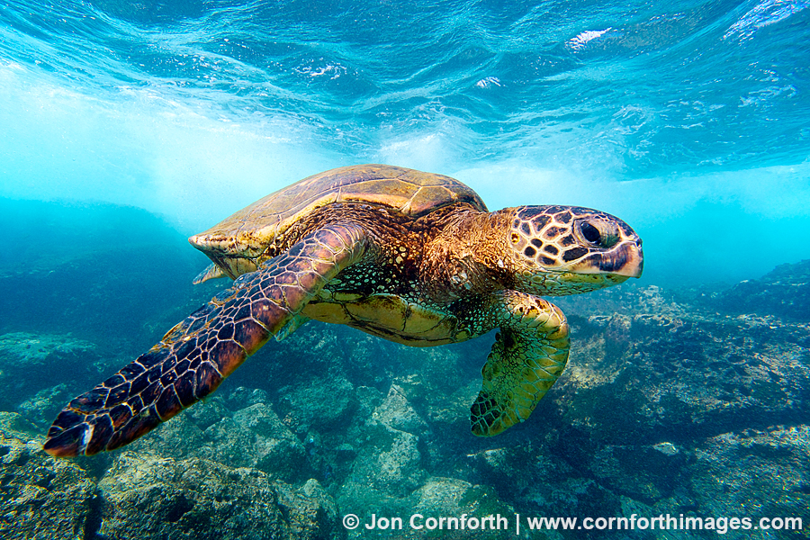 Green Sea Turtle 20