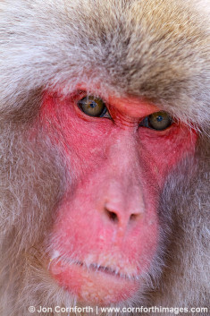 Japanese Macaque 12