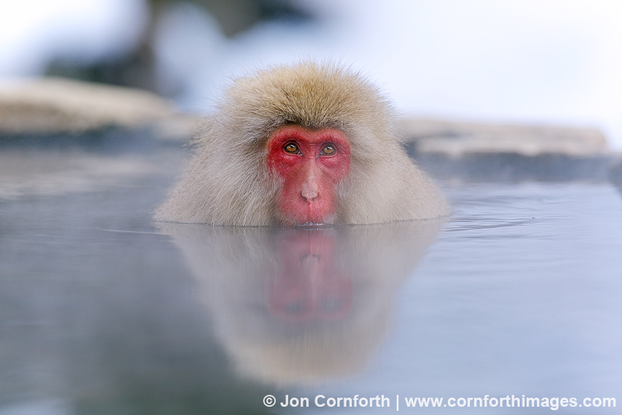 Japanese Macaque 14