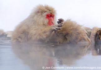 Japanese Macaque 16