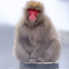 Japanese Macaque 7