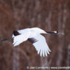 Red-Crowned Crane 11