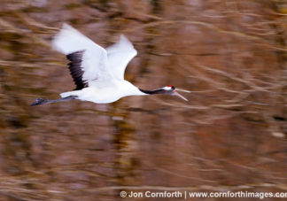 Red-Crowned Crane 18