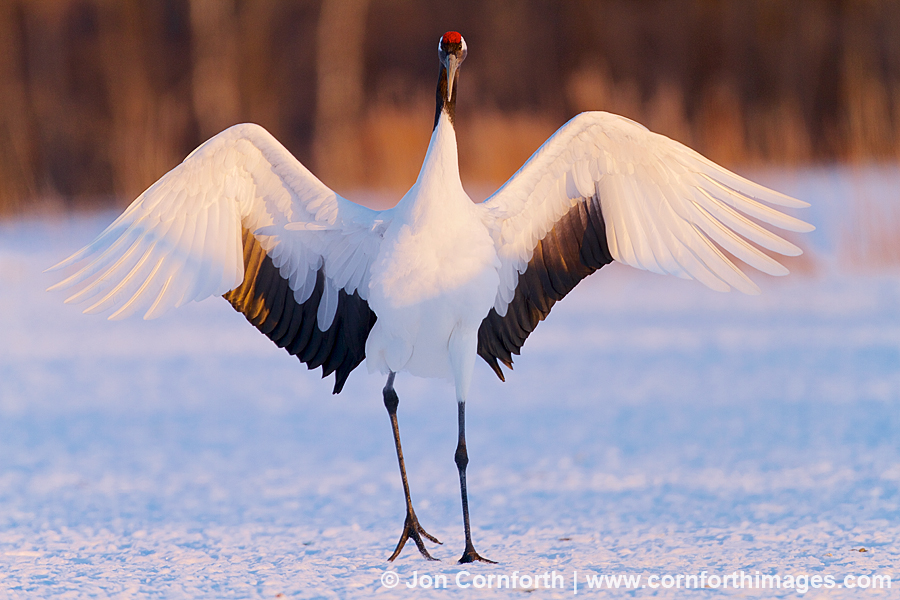 Red-Crowned Crane 20