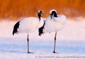 Red-Crowned Crane 21