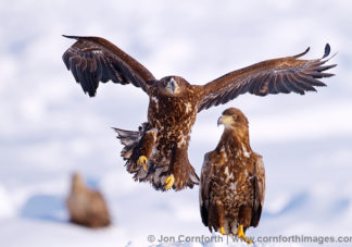 Steller's Sea Eagle Juveniles