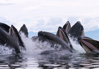 Humpback Whales Bubble Feeding 202