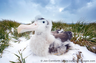 Prion Island Wandering Albatross 24