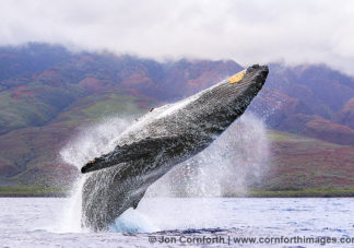 Humpback Whale Breach 232