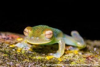 Granular Glass Frog 12