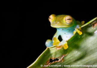 Granular Glass Frog 14