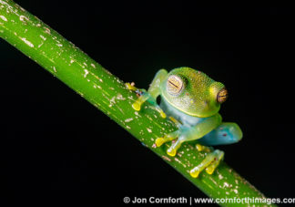 Granular Glass Frog 5