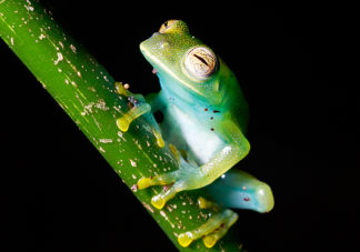 Granular Glass Frog 7
