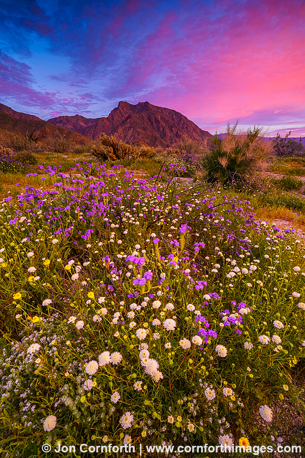 Anza Borrego Wildflower Sunrise 1