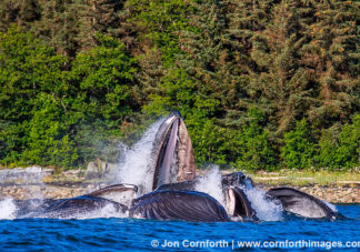 Humpback Whales Bubble Feeding 301