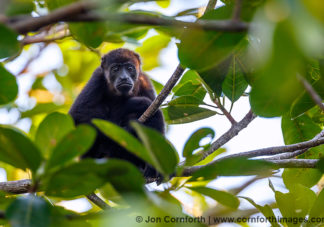 Mantled Howler Monkey 17