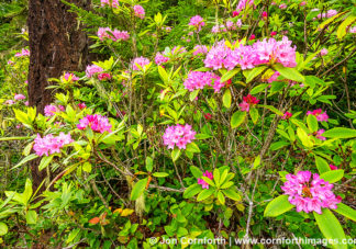Quilcene Rhododendrons 5