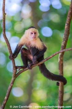 White Faced Capuchin