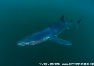 Rhode Island Blue Shark 7