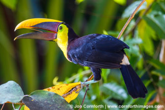Chestnut Mandibled Toucan 11