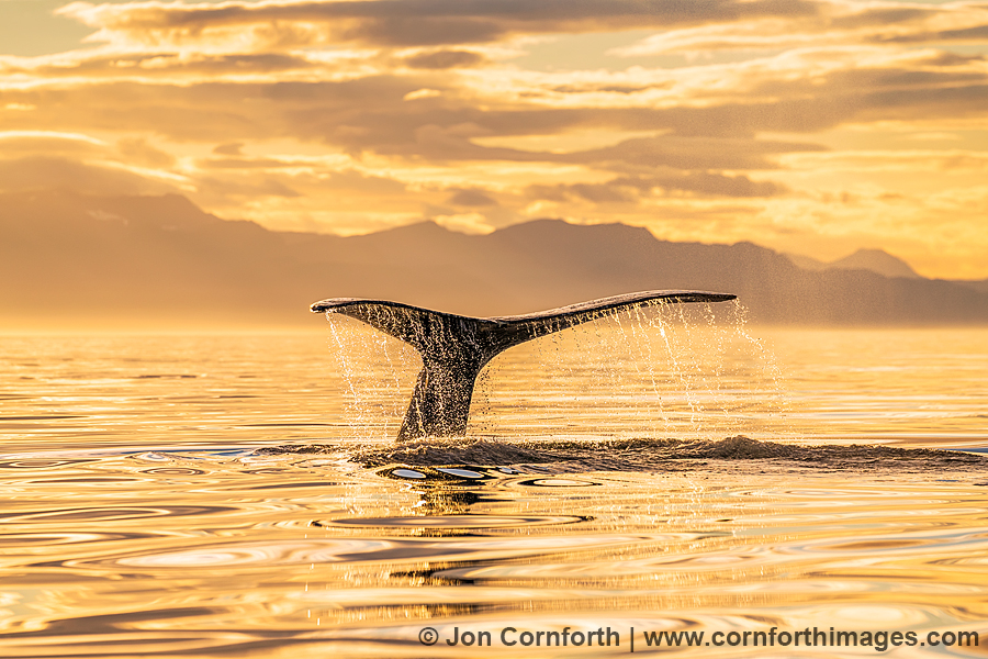 Humpback Whale Tail 204