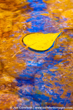 Methow Fall Cottonwood Leaf 4