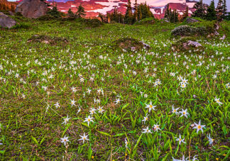 Spray Park Avalanche Lilies 1