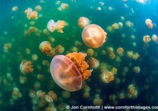Jellyfish Lake 11